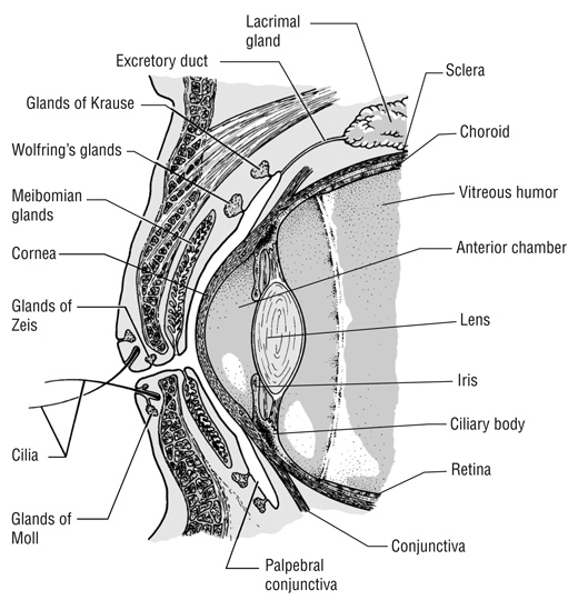Eye Cross-Section Medical Illustration