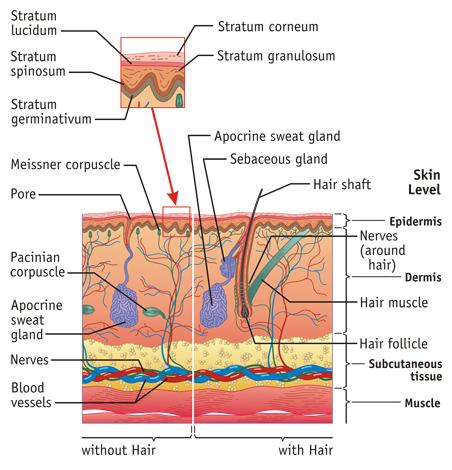 Integumentary System Medical Illustration