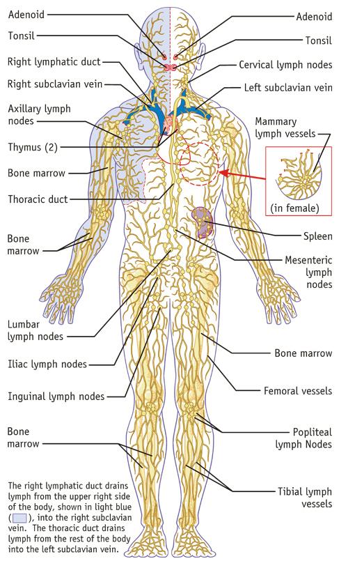 Lymphatic System Medical Illustration