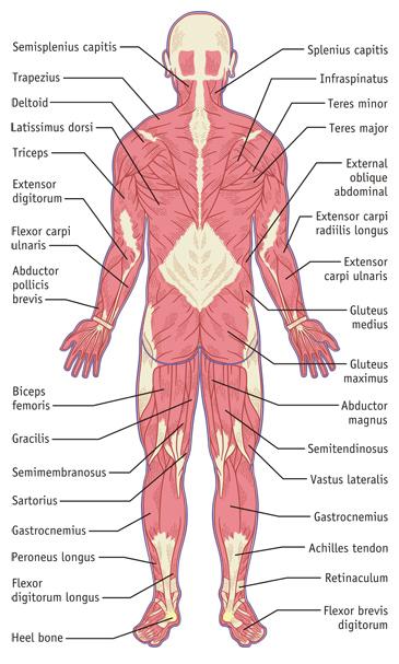 Muscular System Illustration, Back Side