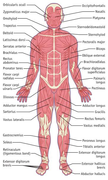 Muscular System Illustration, Front Side