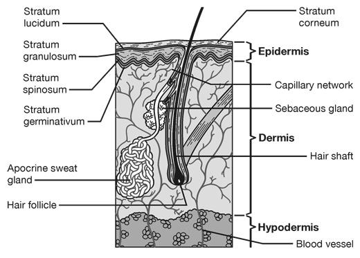 Skin Cross-Section Medical Illustration