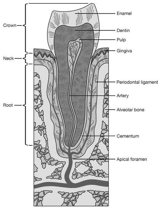 Tooth Cross-Section Medical Illustration